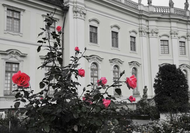 Roses in front of chateau Ludwigsburg Arch Architectural Column Architecture Blooming Building Built Structure Façade Flower Travel Destinations Ludwigsburg Rose - Flower Roses🌹 Rose🌹 Playing With Colours