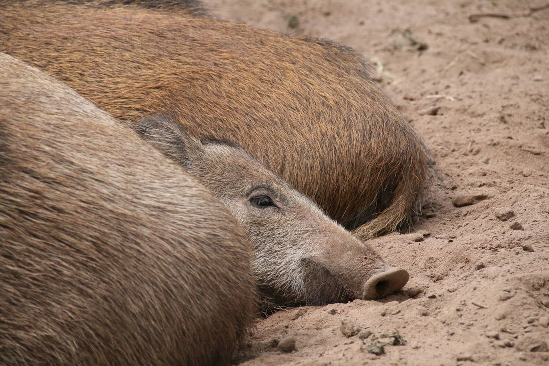 Young Wild Boar Lying Down Animal Themes Nature Sand Outdoors Close-up Day No People Pet Portraits