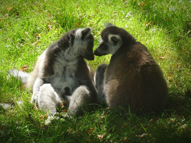 Nature Animal Themes Grass Green Color Outdoors Lovers Cute Cuteanimals Zoo Lemurs Zoo Animals  Summer