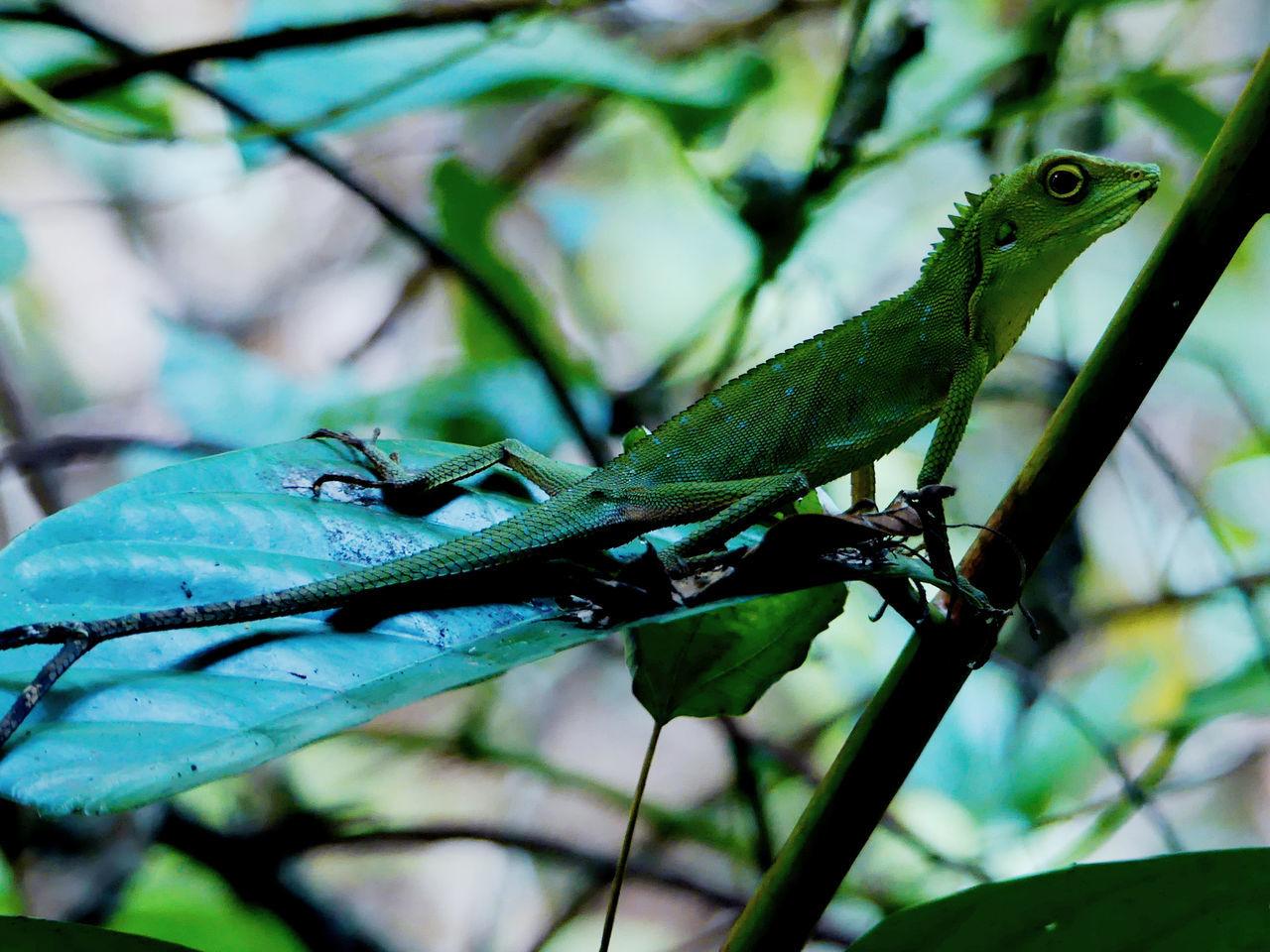 Lizard Animal Wildlife Borneo Lizard Lizard Nature Lizards Reptile Reptile Photography Reptile World Reptiles Tropical Paradise