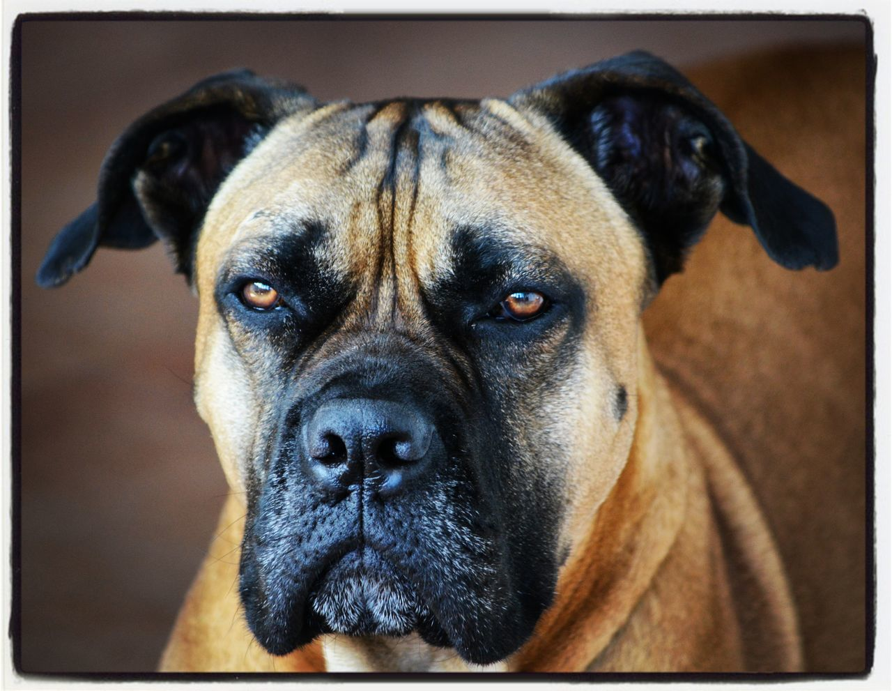 simply Bull Dog Pets Looking At Camera Portrait One Animal Animal Themes Indoors  Domestic Animals Close-up No People Bullmastiff EyeEm Masterclass EyeEm Market © EyeEm Best Shots EyeEmBestPics EyeEmBestEdits Nikkor 55-300mm Lens Nikon D5200