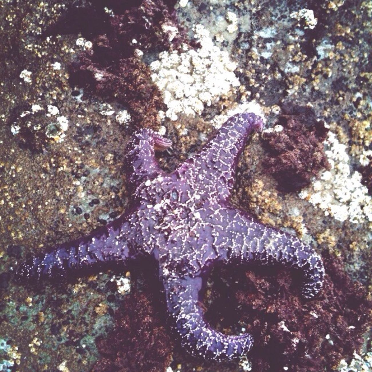 Starfish  Moving Slow Purple Beach