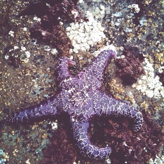 Starfish  Moving Slow Purple Beach