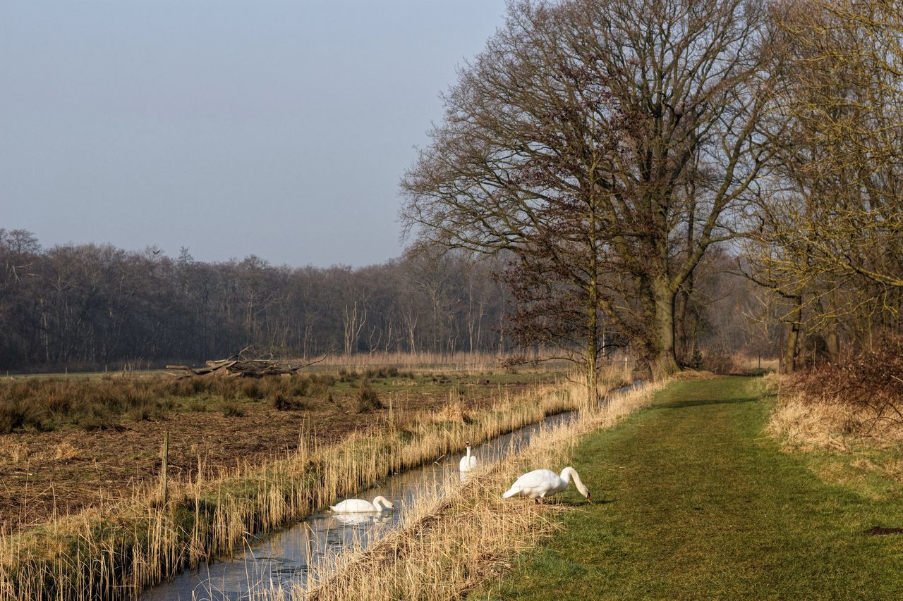 Treetastic Swans Dutch Landscape Netherlands Management By Walking Around Treegasmic Tuesday