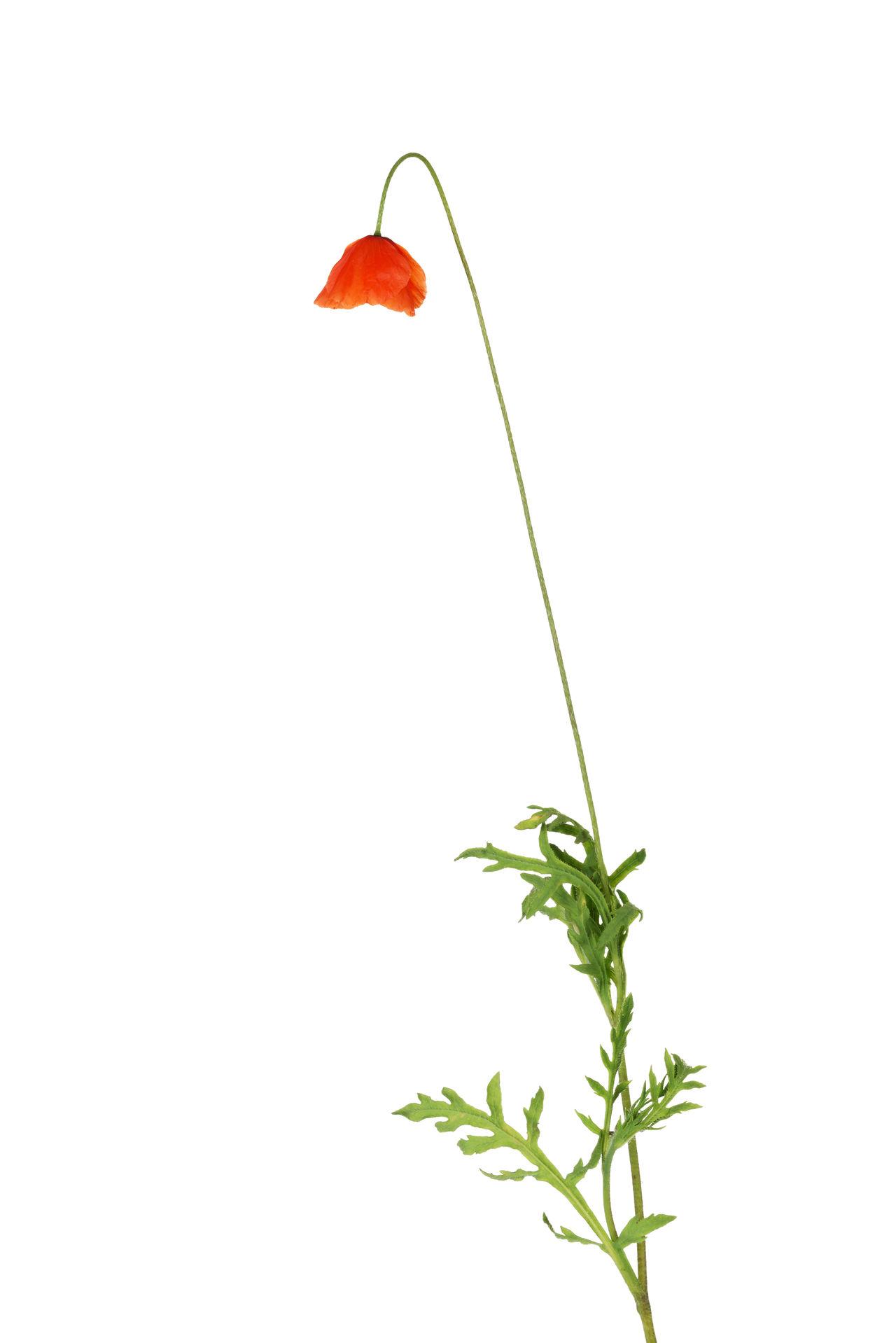 Freshness Nature No People Poppy Flowers Red Red Flower Studio Shot White Background