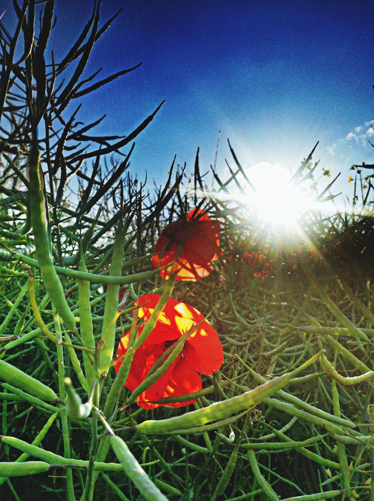 Nature Flowers Sunset Sun