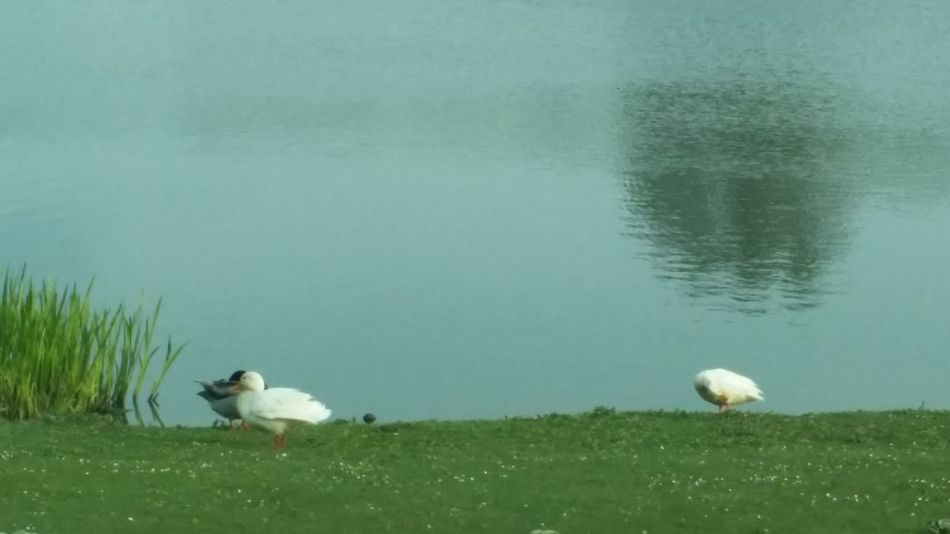 Escapees. ? Taking Pictures Relaxing Ducks
