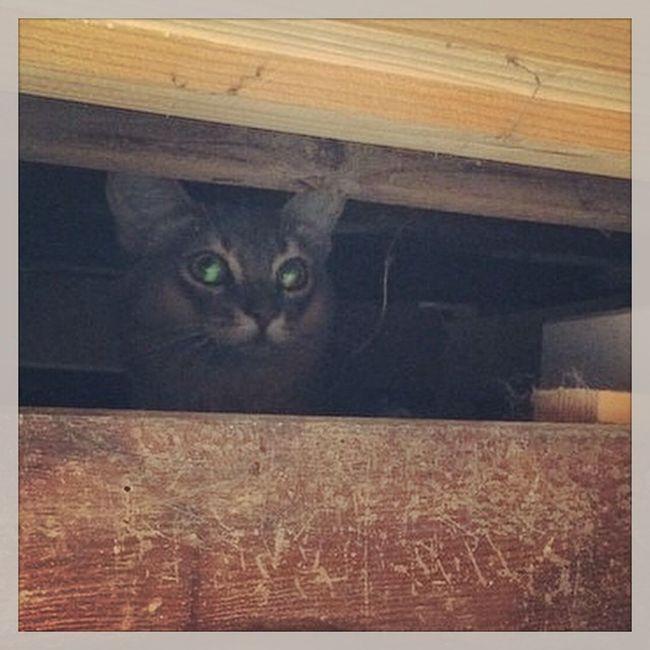"""迷い猫 拡散希望 Cat Neko ねこ 猫 ネコ cats @fletch_lf さんとこの""""アメリちゃん""""床下に潜んでるところを発見され無事救出されました??よかったよかった?"""
