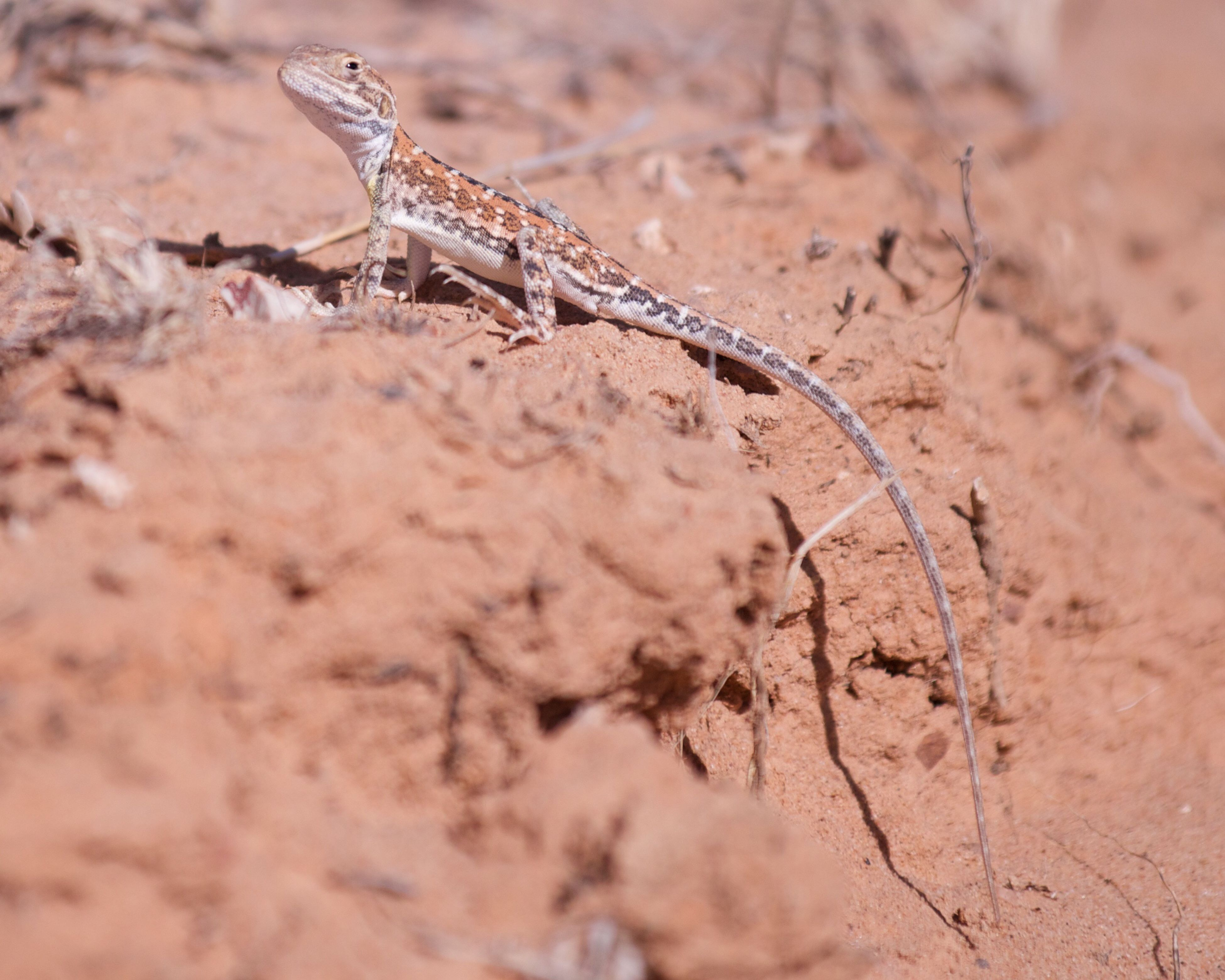 A Gibber Dragon (Ctenophorus gibba) photographed in a dry sandy creek bed along the Birdsville Track north of Marree in South Australia - Nikon D800 Ctenophorusgibba Reptile Lizard Wildlife Australian Wildlife Animals Desert Wildlife Photography Wildlife & Nature Nature Photography Animal Wildlife Animals In The Wild Sand Outdoors