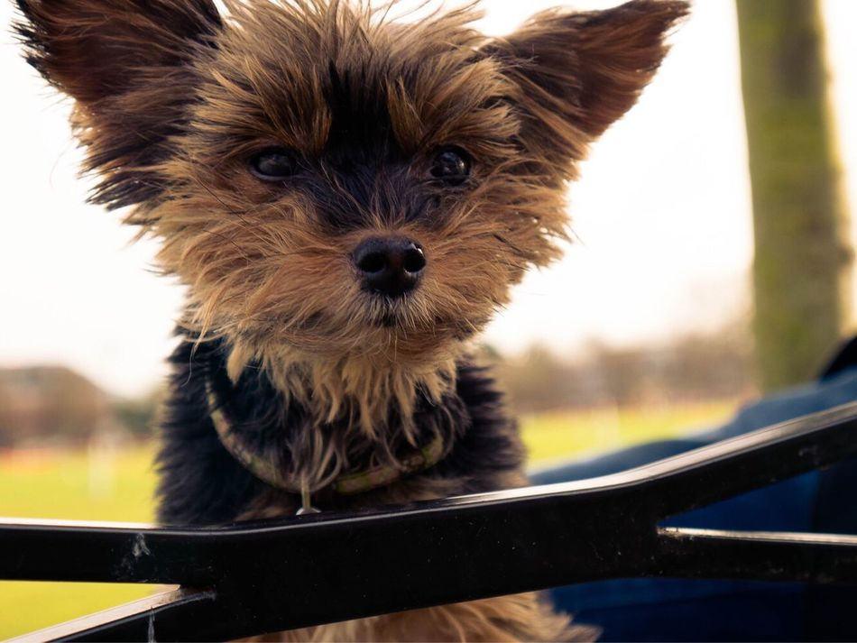 Yorkshire Terrier Bench Parkers Piece Looking At Camera Close-up Portrait Bear Goodgirl Dog