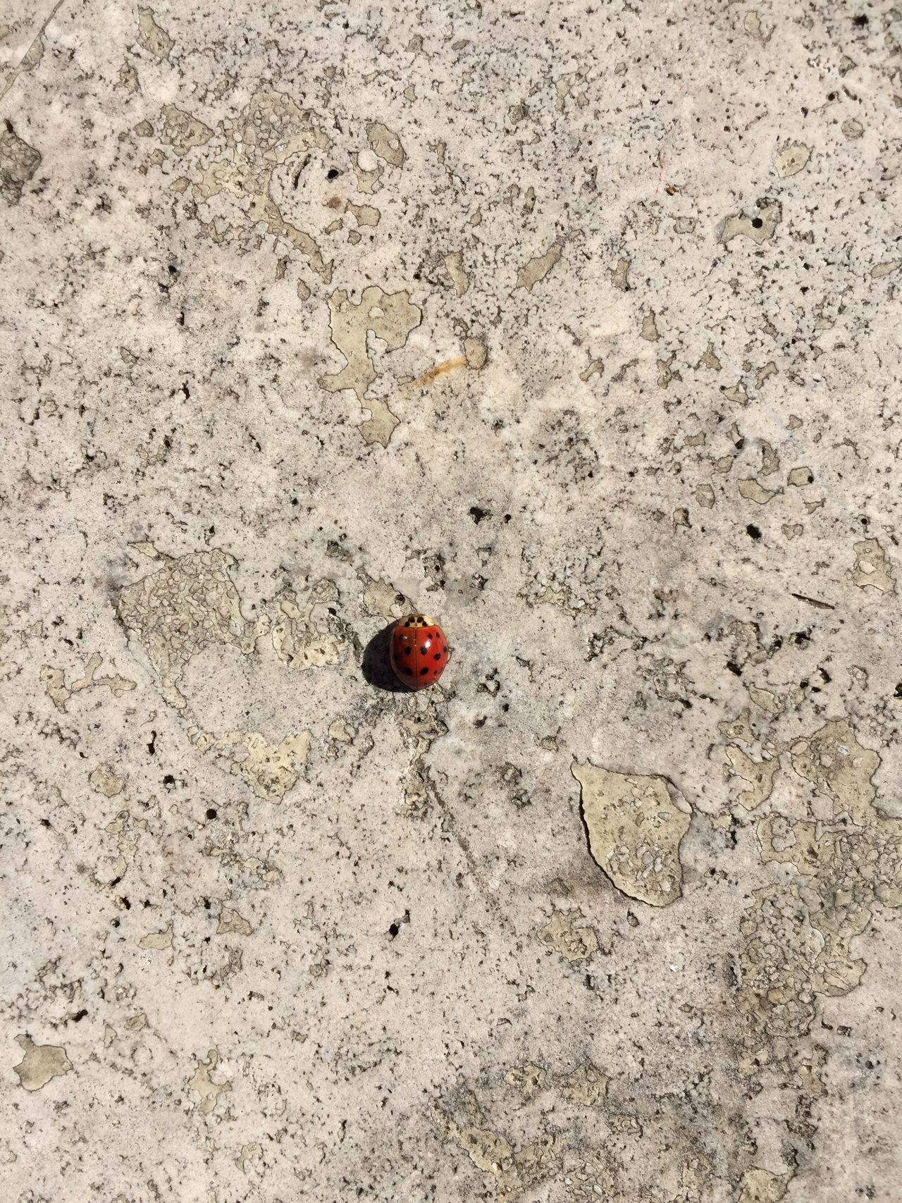 Enjoy The New Normal Ladybug High Angle View Red Insect The Purist (no Edit, No Filter) Outdoors Close-up Nature Sunbathing