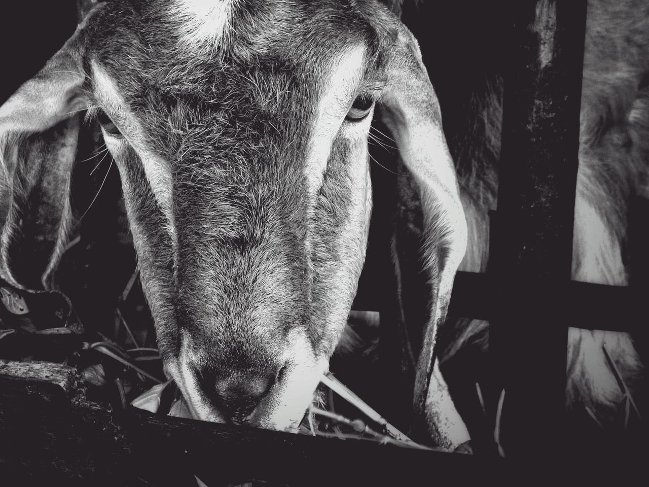 Goat Animal Animal Photography Close-up Of Goat Eating Animal Bnw Black And White Monochrome Photography