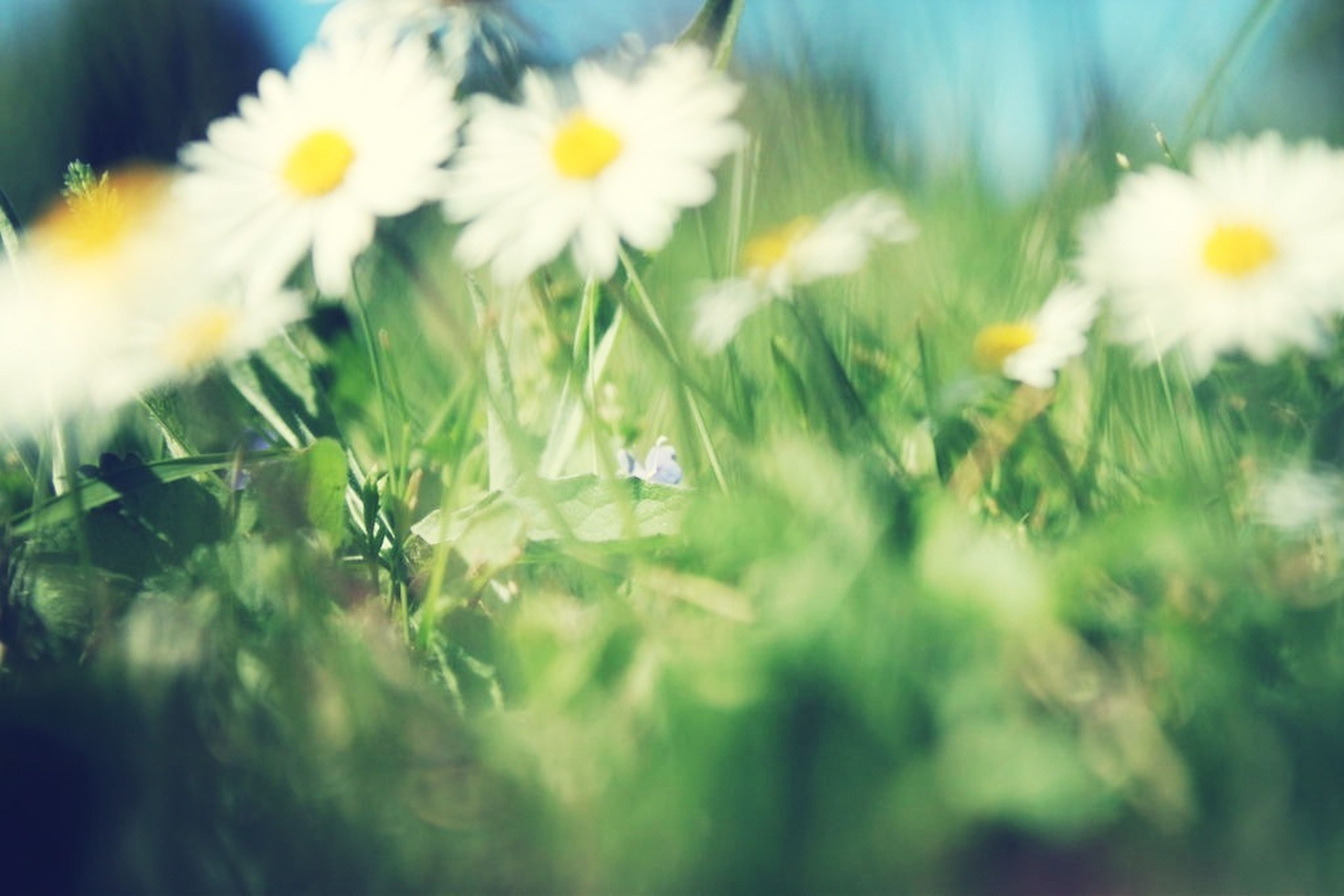 flower, growth, freshness, fragility, plant, beauty in nature, nature, focus on foreground, close-up, petal, white color, blooming, selective focus, stem, flower head, field, wildflower, in bloom, day, outdoors