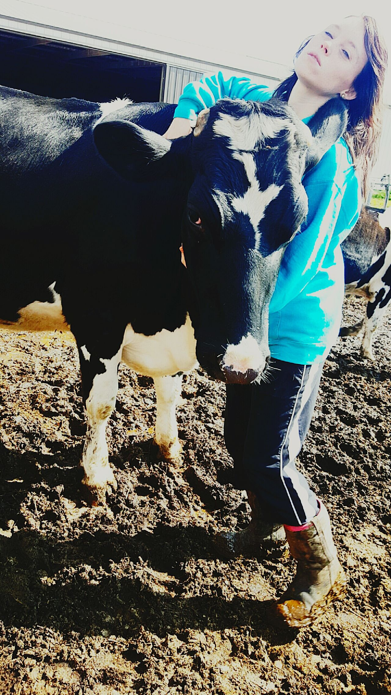 Hard workers and the little heifers of the farm. Agriculture