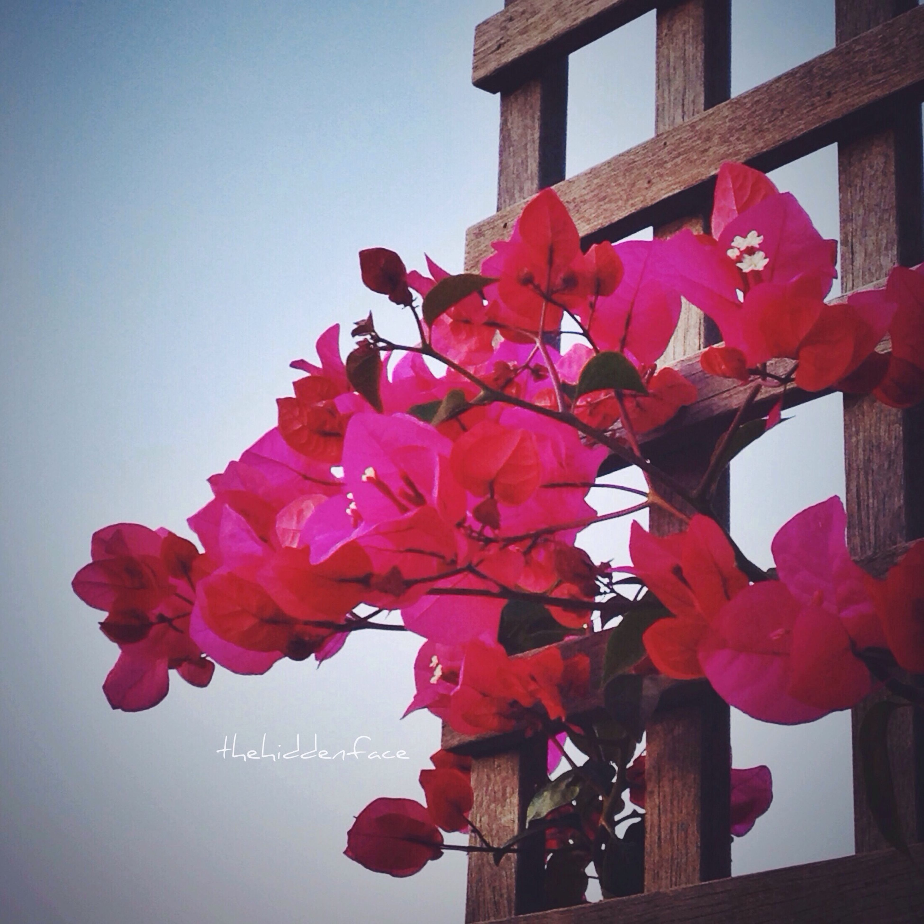 flower, freshness, fragility, low angle view, petal, built structure, growth, architecture, red, clear sky, building exterior, pink color, beauty in nature, blooming, flower head, nature, blossom, in bloom, sky, day