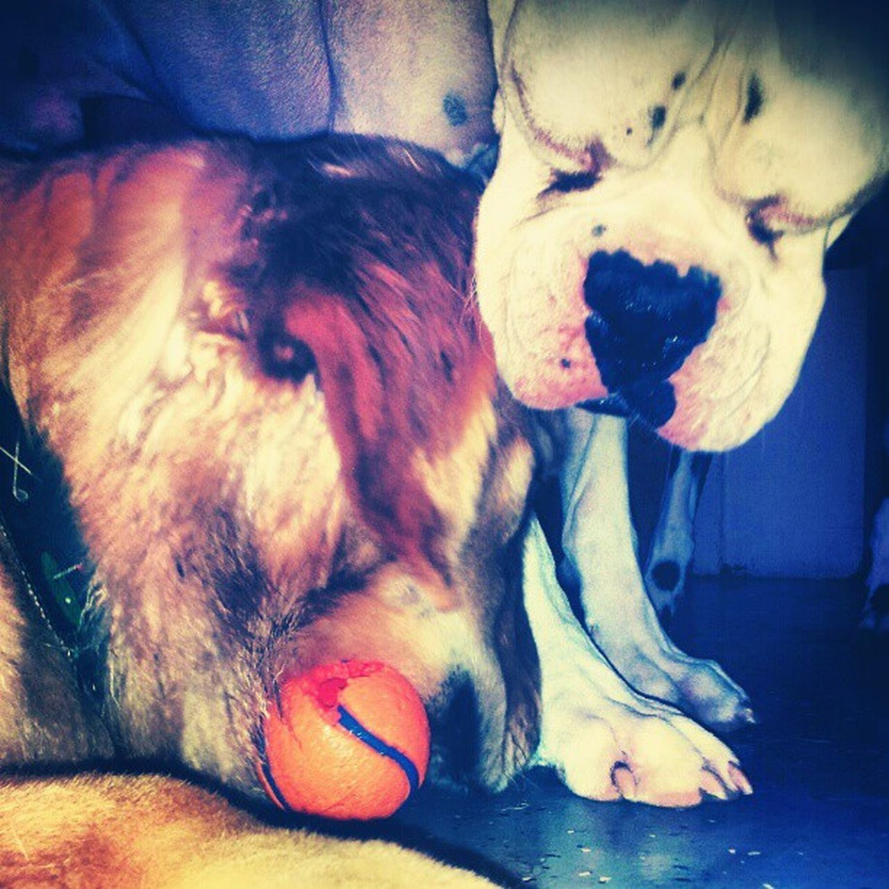 dog, pets, one animal, animal themes, domestic animals, mammal, indoors, playing, no people, close-up, day