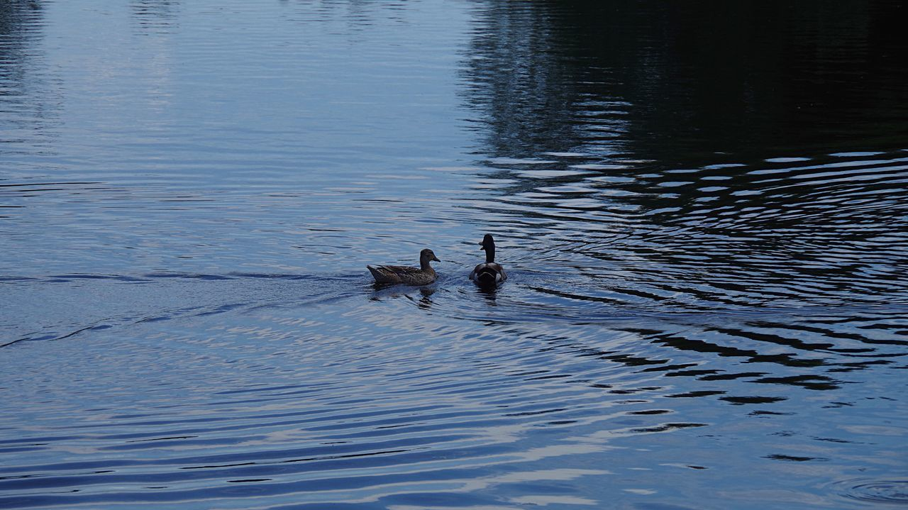 Ducks in the river Animals In The Wild Animal Themes Water Water Bird Ducks Swimming Two Animals Reflection Ripple Effect Togetherness Nature Natural Habitat Floating In Water Outdoors