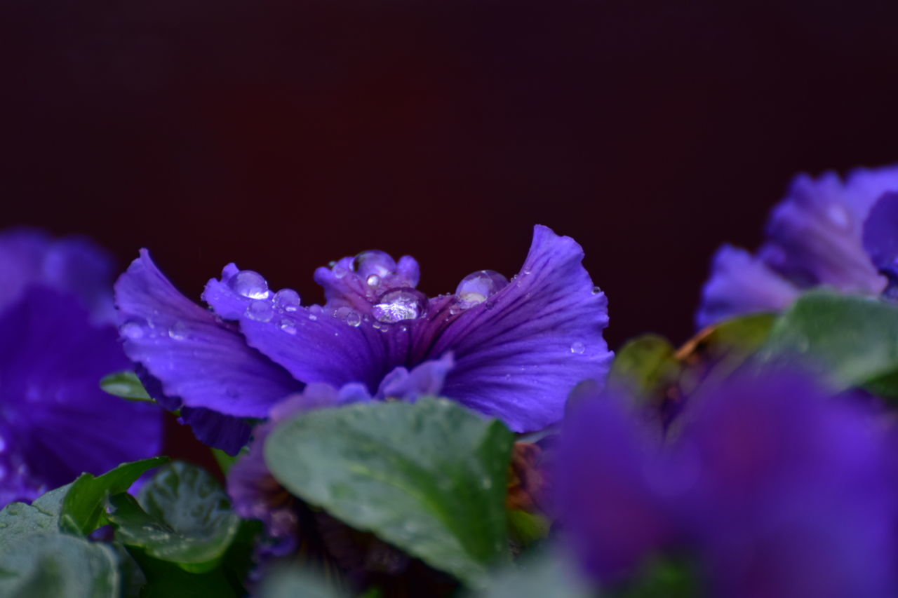 flower, petal, beauty in nature, fragility, nature, freshness, no people, selective focus, purple, flower head, growth, plant, close-up, blue, blooming, outdoors, day