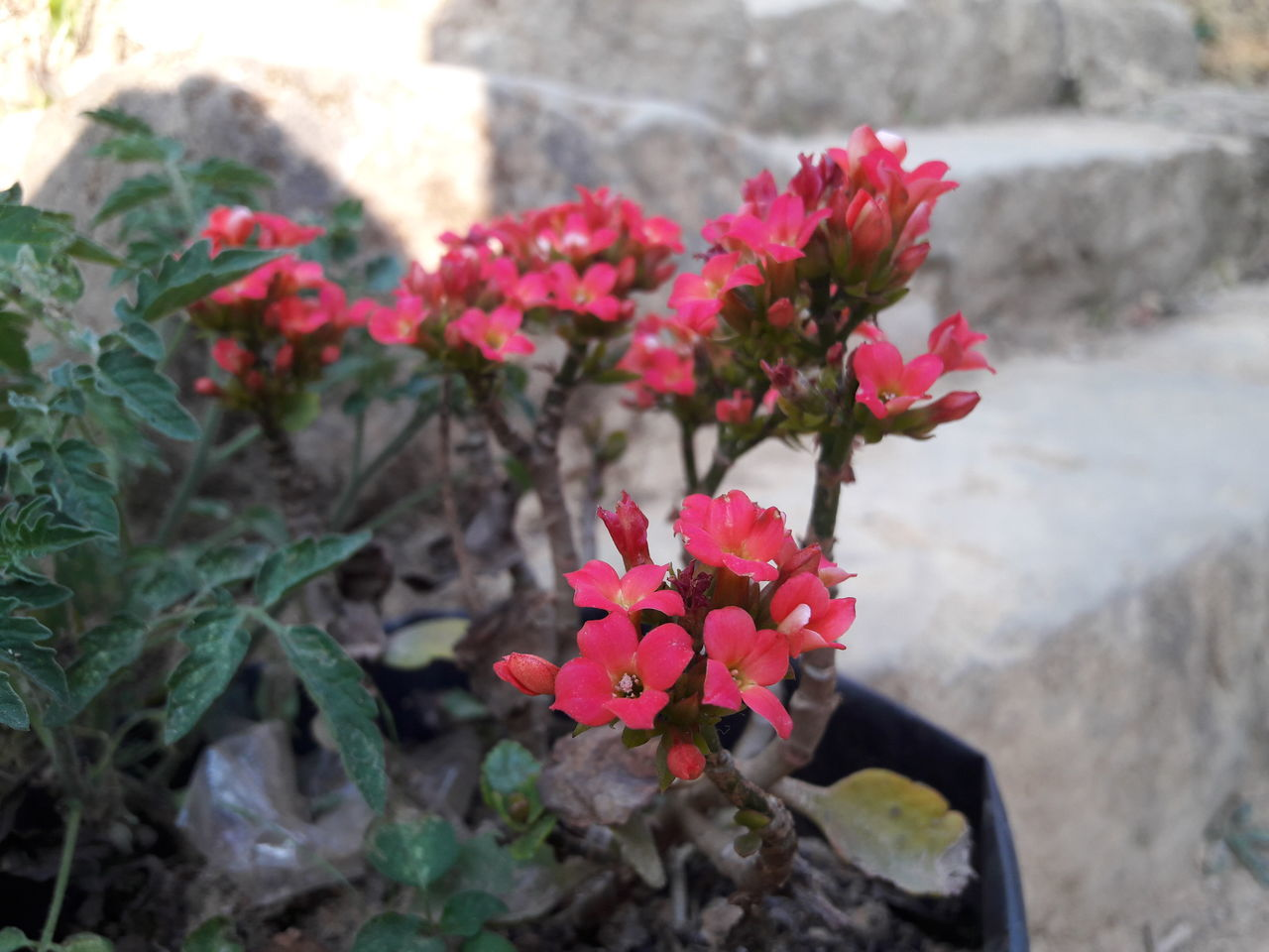 Flower Red Nature Outdoors Beauty In Nature Close-up First Eyeem Photo Kalanchoe Kalanchoe Flower EyeEmNewHere