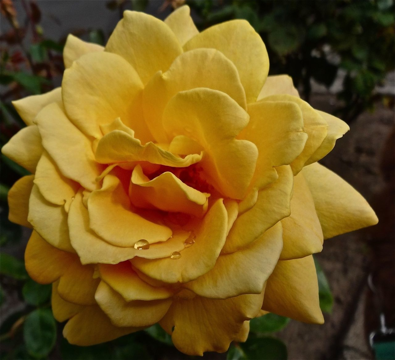 flower, petal, nature, beauty in nature, growth, plant, fragility, flower head, blooming, no people, outdoors, beauty, close-up, yellow, freshness, day