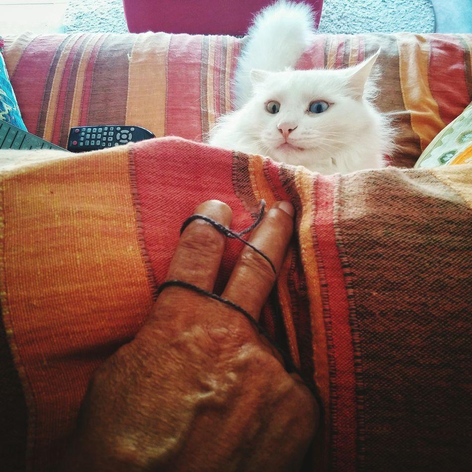 Pure fear Pet Cat Angry White Angora Angoracat Hand Playing Portrait Animal Turkish Eyes Feline Turkish Angora