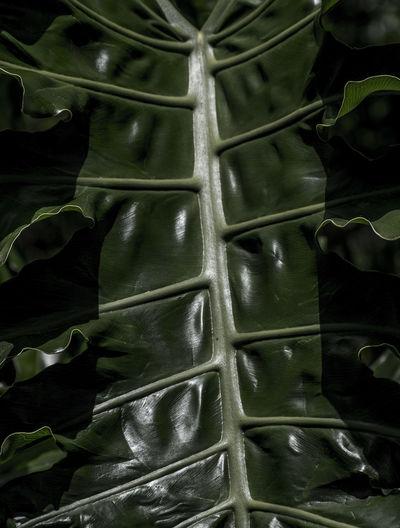 Backgrounds Full Frame Green Color Leaf Pattern Samambaia Samambaialeaf Textured