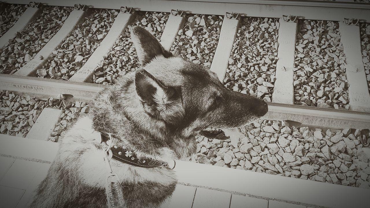No Train Railway German Shepherd Love Of My Life Dog Walking Around Friend
