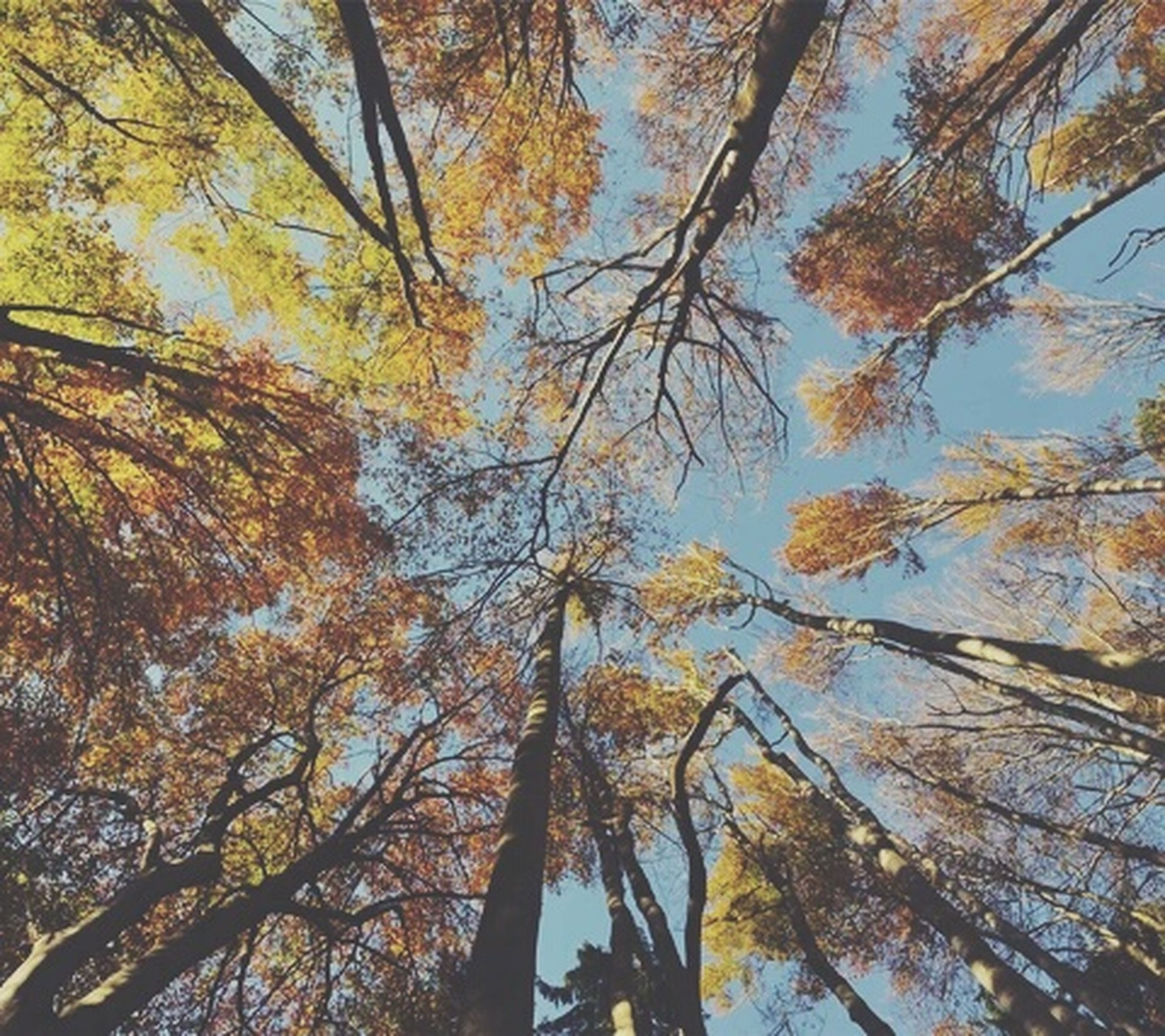 tree, branch, low angle view, autumn, tranquility, growth, nature, beauty in nature, change, tree trunk, scenics, tranquil scene, sky, season, leaf, day, outdoors, no people, forest, clear sky