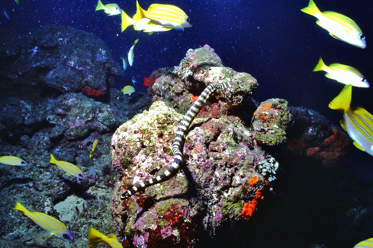エラブウナギ Erabu Black-banded Krait Under Sea Nature_collection EyeEm Nature Lover at 西表島ウナリ崎
