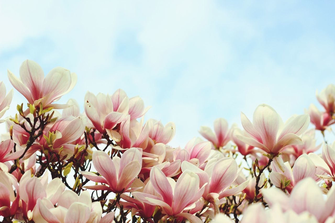 Beautiful stock photos of magnolia, Beauty In Nature, Close-Up, Cloud, Day