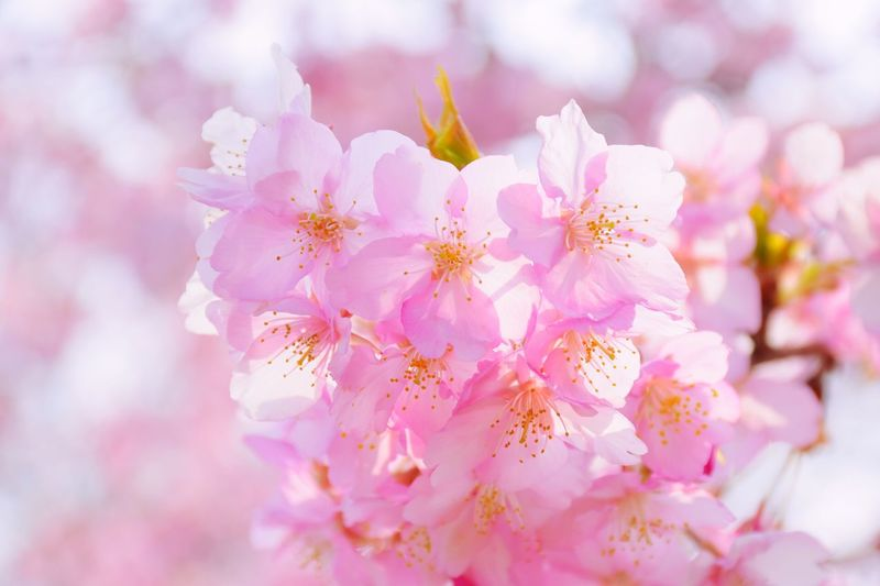 feel the wind of spring Flowers Cherry Blossoms Spring Pink Color First Eyeem Photo Showcase March Nikon Japan