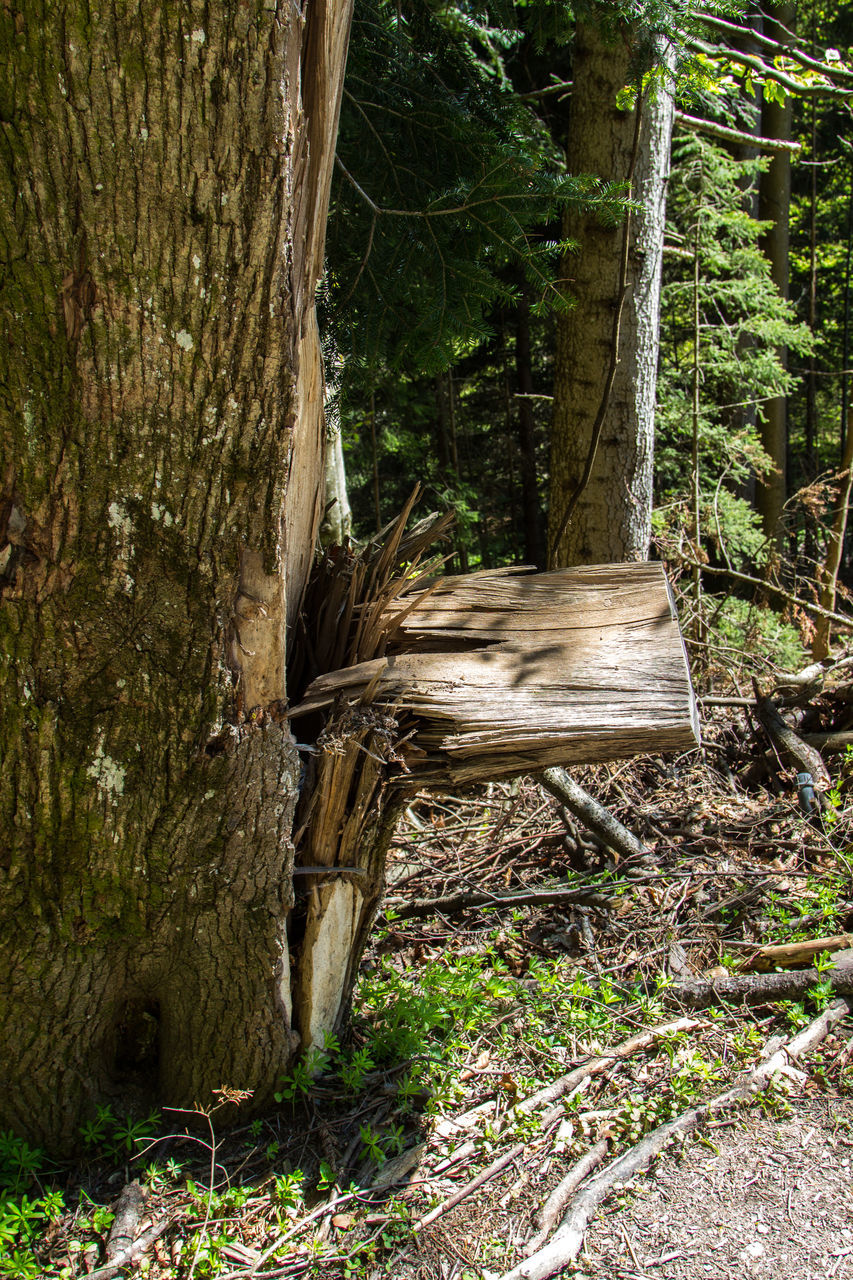 tree, tree trunk, forest, nature, no people, day, outdoors, growth