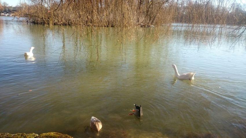 Animal Themes Bird High Angle View Lake Swan Swimming Water Water Bird