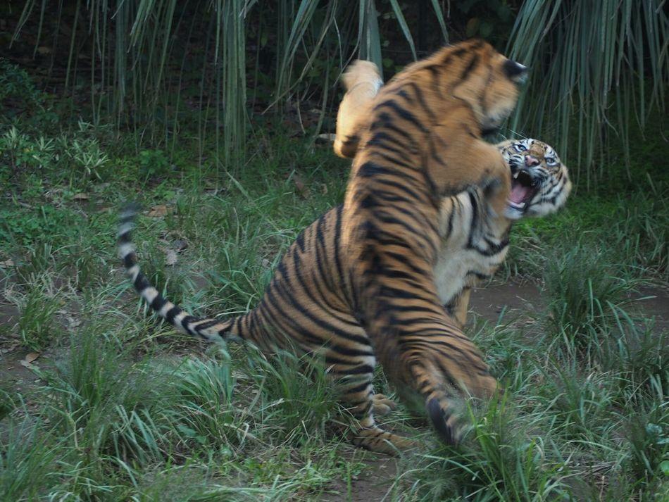 Beautiful stock photos of tiger, animal themes, one animal, mammal, grass