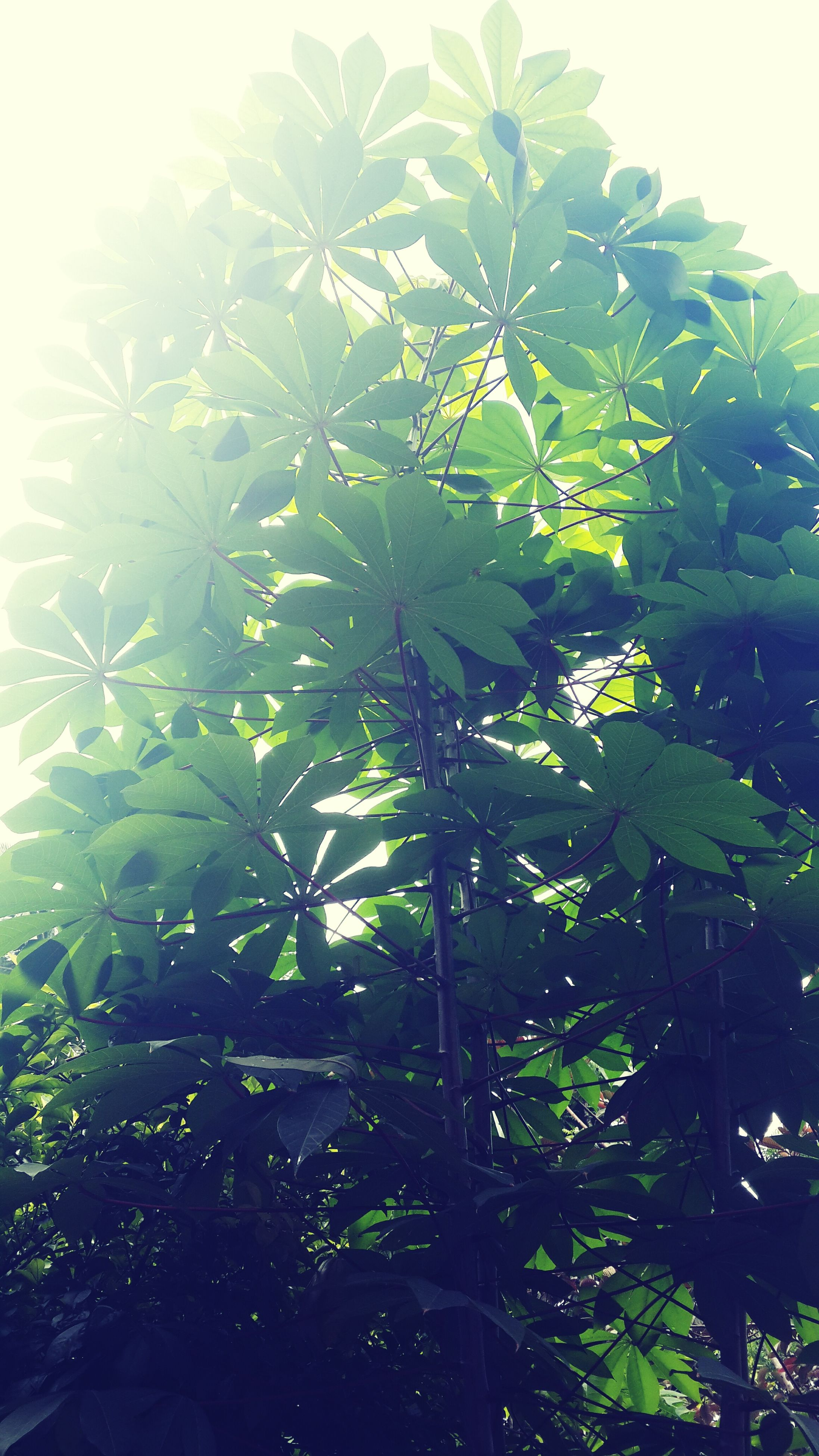 leaf, growth, tree, low angle view, branch, green color, nature, clear sky, beauty in nature, tranquility, plant, sky, sunlight, day, outdoors, close-up, no people, green, growing, freshness
