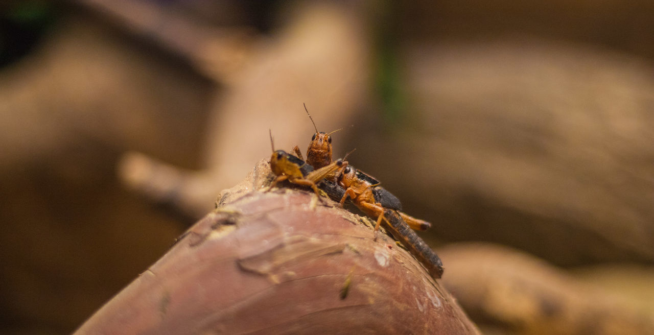 Chillin Animal Themes Animal Wildlife Animals In The Wild Branches Brown Chillin Close-up Cricket Crickets Day Insect Nature No People Outdoors Wildlife