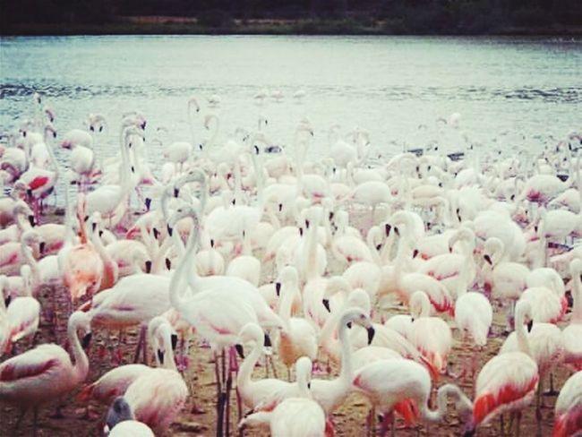 Flamant Rose Nature Free Animaux Animals OpenEdit