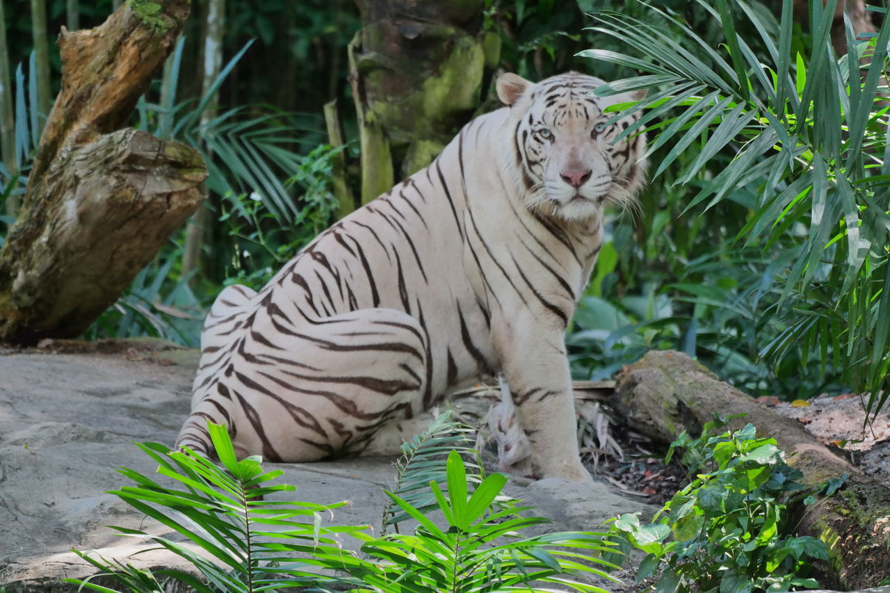 one animal, animals in the wild, tiger, animal themes, plant, white tiger, day, animal wildlife, outdoors, mammal, nature, no people