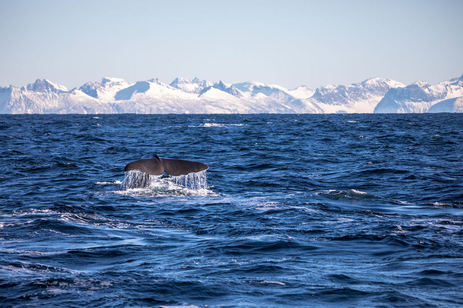 Animal Wildlife Animals In The Wild Aquatic Mammal Beauty In Nature Day Diving Mammal Mountain Mountain Range Nature No People Norway Outdoors Scenics Sea Senja Island Snow Sperm Whale  Swimming Vesterålen Water Whale Whale Whale Watching Winter