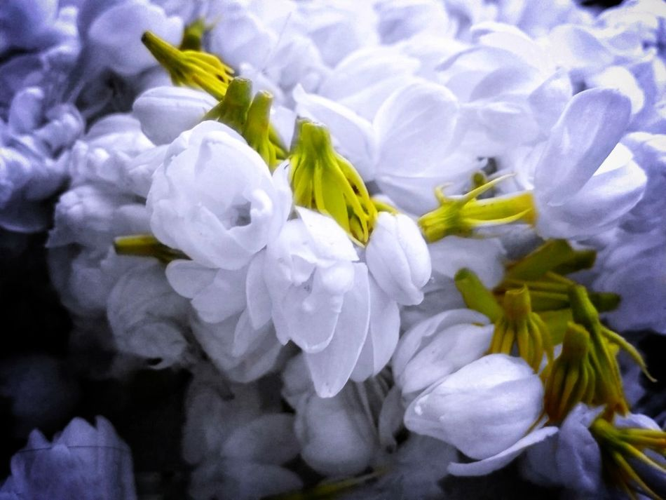 Flower Petal Nature Close-up Freshness Scented Beauty In Nature Sampaguita Sampaguita Flower Jasmine Flower No People Rose - Flower Flower Head Fragility Plant