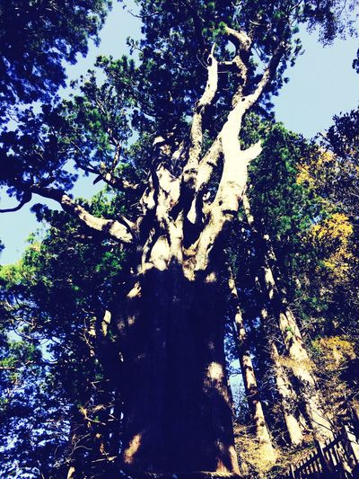 3000years Old Tree