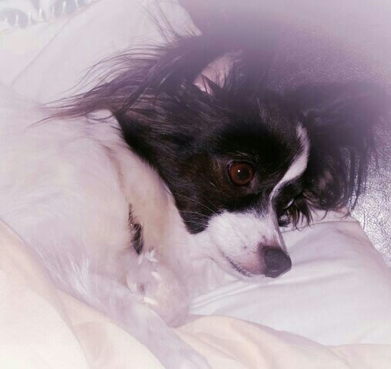Miss Sophy resting after playing with the boys! I Love My Dog Papillion, Dog, Cute, Precious, Furry Papillon Its A Dogs Life Dogoftheday Dog Photography Dogmodel Dogs Of EyeEm My Photos ♥ Papillon Dog No People EyeEm Gallery Black And White Photography Eyeem Market Dog Close-up EyeEm Best Shots My Photography Eyeem Photography Welcome To Black Black And White Ankle Biter Lap Dog Dogslife My Dogs Are Cooler Than Your Kids