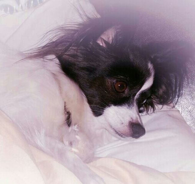 Miss Sophy restimg after playing with the boys! I Love My Dog Relaxing Papillion, Dog, Cute, Precious, Furry Papillon Its A Dogs Life My Dogs Are Cooler Than Your Kids