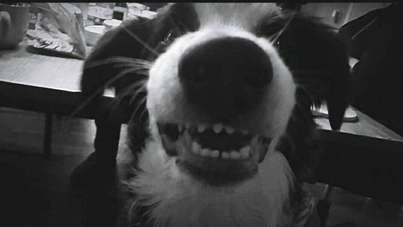 Border Collie Dog Smile Cute Monster ❤ 5months  Old Love