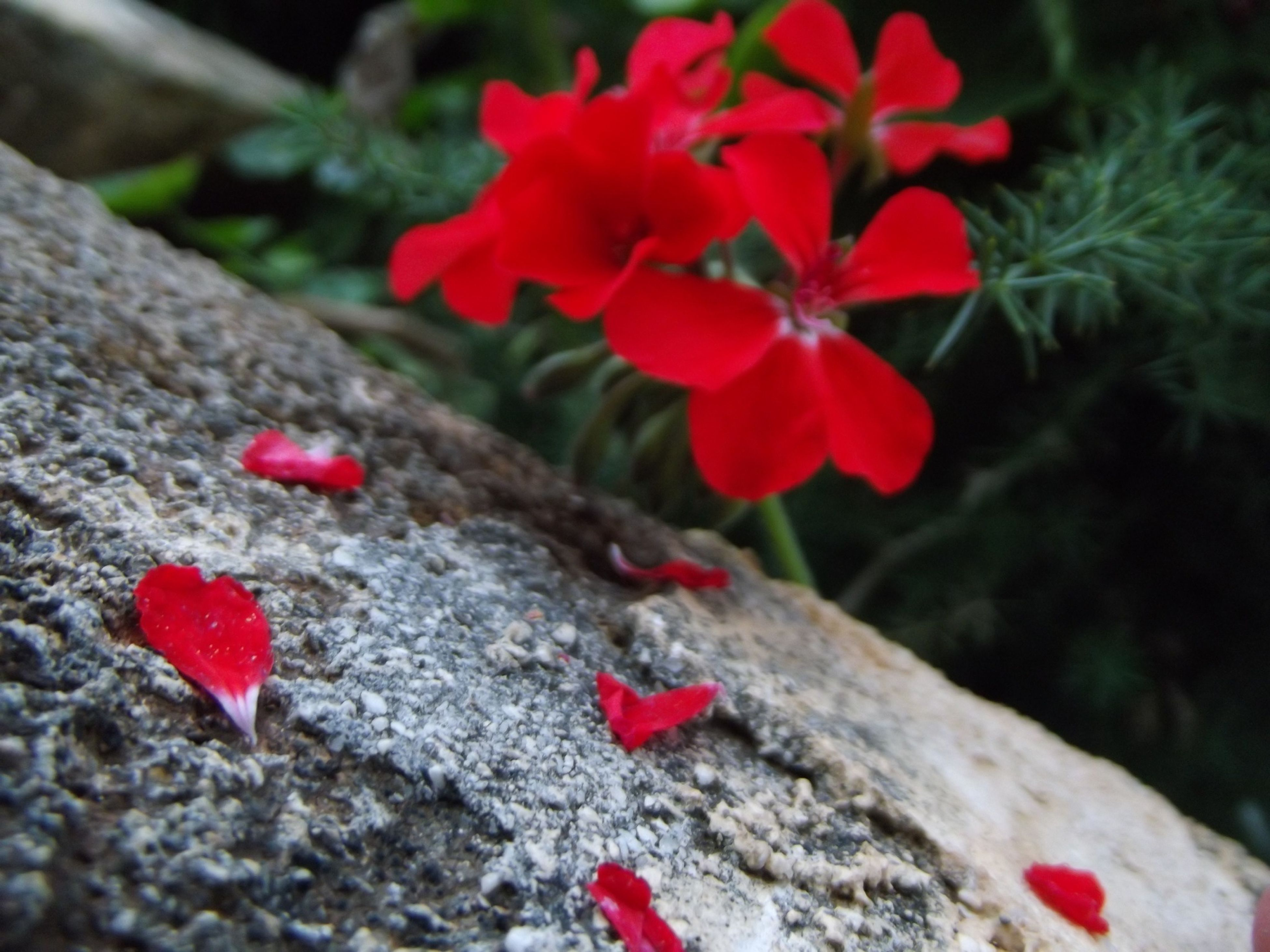 red, flower, petal, fragility, close-up, growth, focus on foreground, freshness, plant, nature, selective focus, beauty in nature, high angle view, day, leaf, pink color, flower head, blooming, outdoors, no people