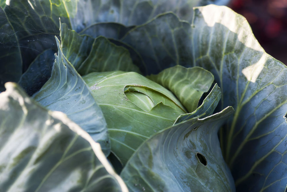 A close-up shot of a cabbage head waiting to be harvested. Agriculture Cabbage Cabbages Diet Farm Food Fresh Garden Gardening Green Growth Harvest Health Healthy Leaf Natural Nature Nutrition Organic Organic Food Plant Raw Salad Vegetable Vegetarian
