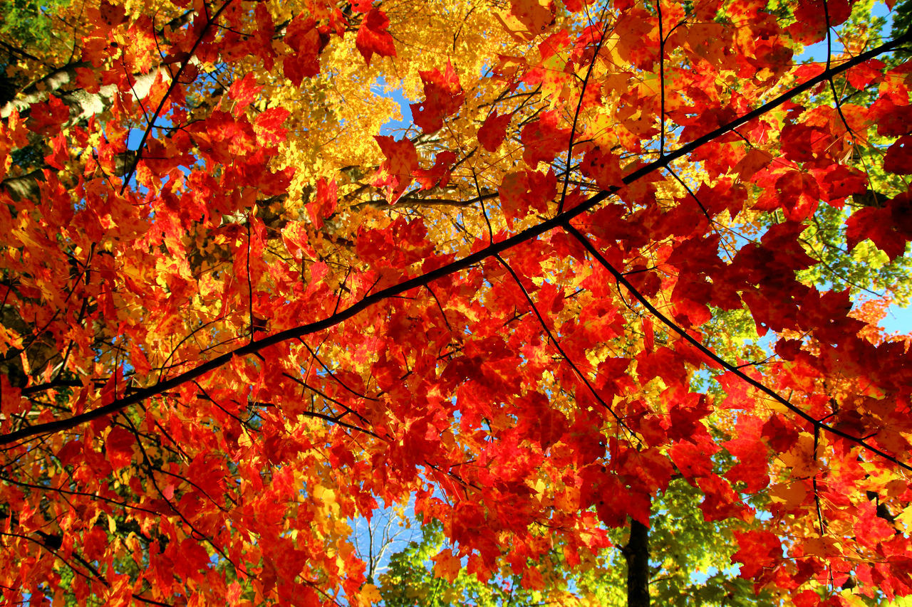 Autumn Backgrounds Beauty In Nature Branch Change Close-up Day Fragility Full Frame Leaf Leaves Maple Maple Leaf Maple Tree Multi Colored Nature No People Orange Color Outdoors Tree Yellow