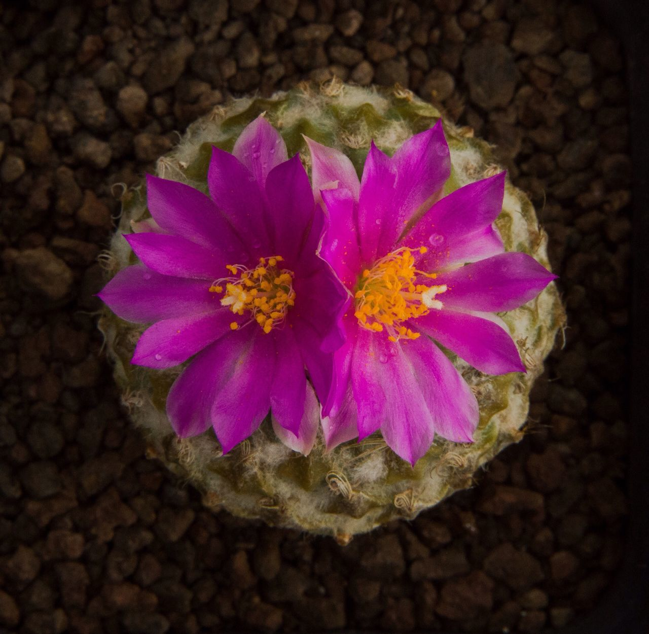 Encephalocarpus strobiliformis Flower Petal Flower Head Fragility No People Beauty In Nature Nature Close-up Freshness Blooming Day Outdoors Plant Cactus Cactus Flower Cactuslover Encephalocarpus