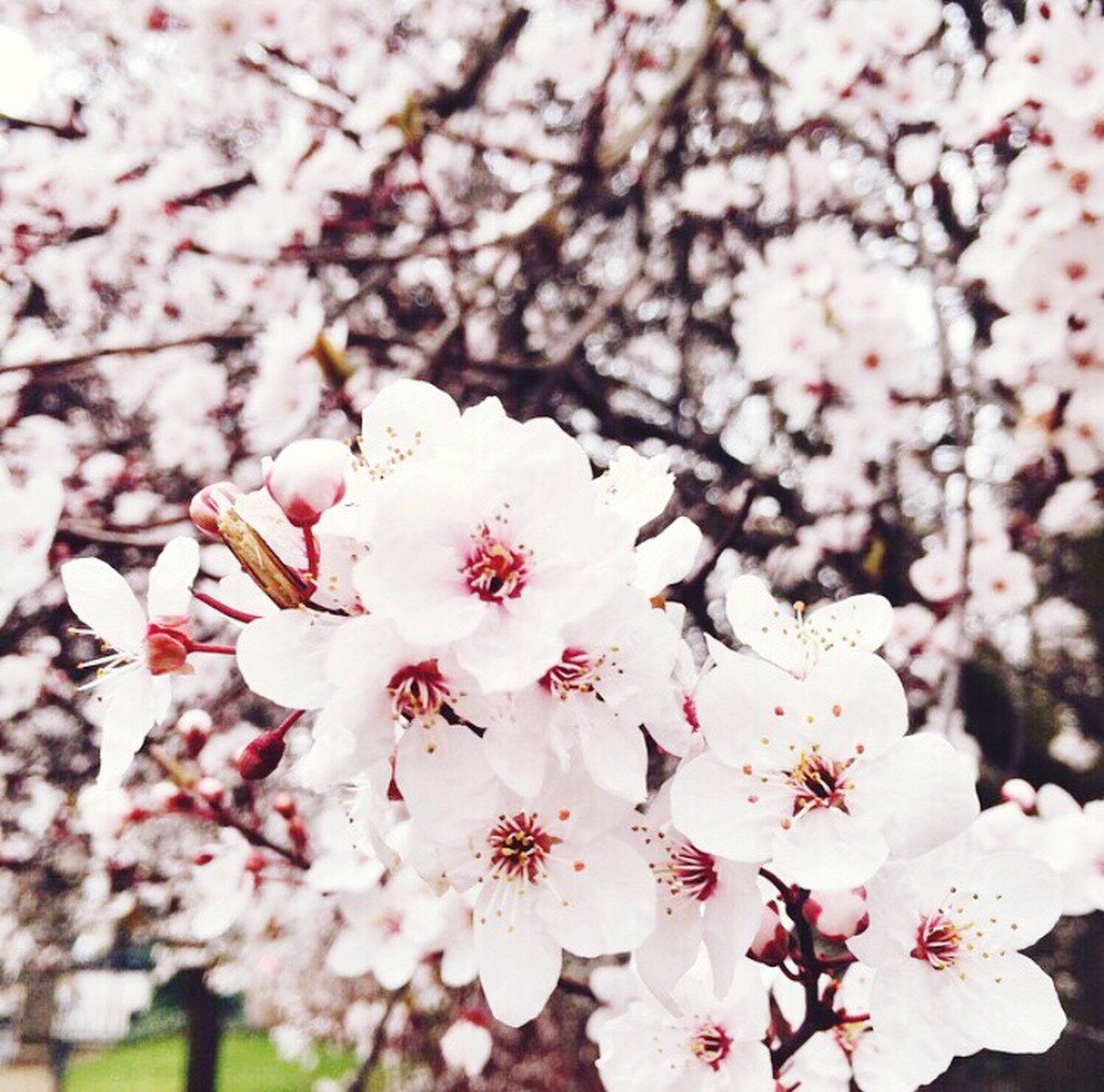 flower, freshness, cherry blossom, fragility, growth, tree, branch, beauty in nature, blossom, cherry tree, petal, nature, white color, in bloom, focus on foreground, springtime, blooming, close-up, flower head, fruit tree