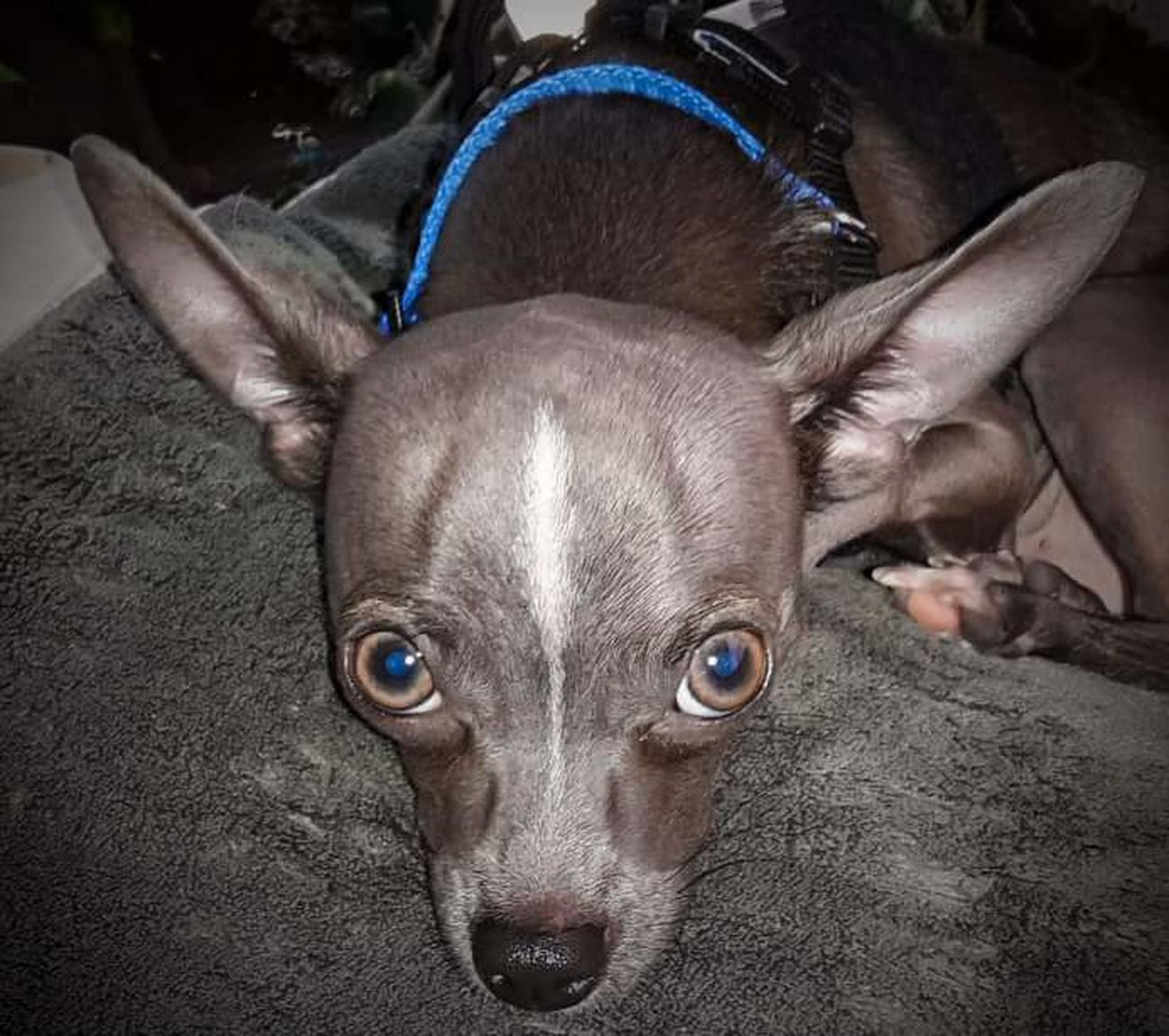 Poncho Kilo Chihuahuas<3 My Dogs Are Cooler Than Your Kids Chihuahua Lovers My Best Friend Happy Dogs